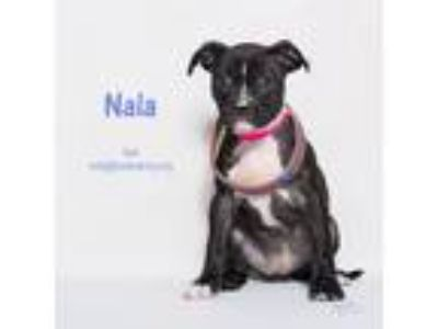 Adopt Nala a Black - with White Boxer / Mixed dog in Riverside, CA (25649503)
