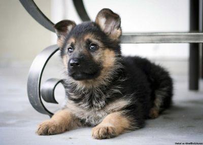 excellent adorable german shepherd
