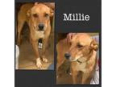 Adopt Millie a Red/Golden/Orange/Chestnut - with White Labrador Retriever /