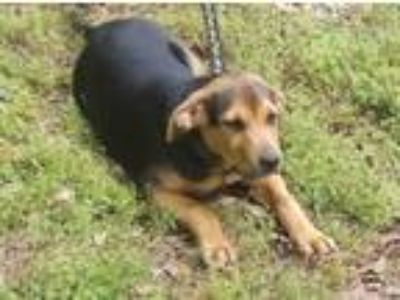 Adopt Lily a German Shepherd Dog