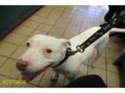 Adopt SIERRA a White American Pit Bull Terrier / Mixed dog in West Palm Beach