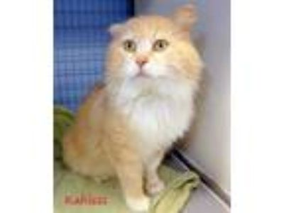 Adopt Kahless a Tan or Fawn Domestic Mediumhair / Domestic Shorthair / Mixed cat