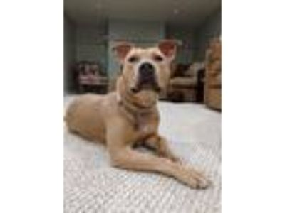 Adopt Analiese a American Staffordshire Terrier