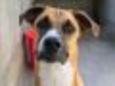 CHIEF Boxer - Mixed Breed Dog