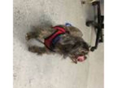 Adopt Dixie a Yorkshire Terrier, Shih Tzu