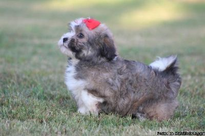 Havanese Puppies for sale. (415) 878