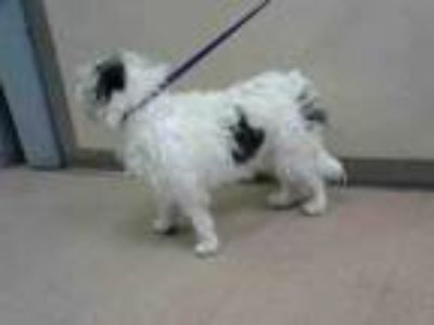 Adopt PAW PAW a Lhasa Apso, Mixed Breed