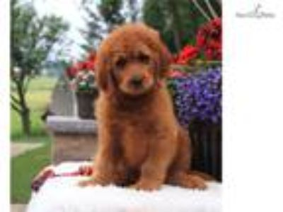 F1b Standard RED! Goldendoodle Puppies for sale!
