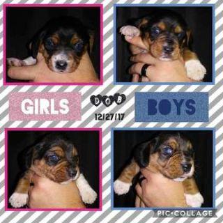 Beagle PUPPY FOR SALE ADN-62457 - Beagle Puppies