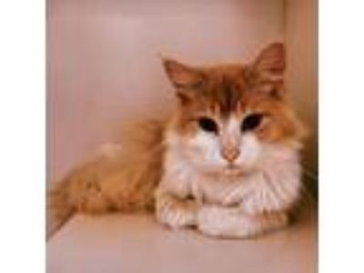 Adopt Mateo a Orange or Red (Mostly) Domestic Longhair / Mixed cat in Oakland