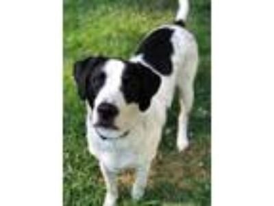 Adopt Leroy a Black - with White English Pointer / Mixed dog in Stafford