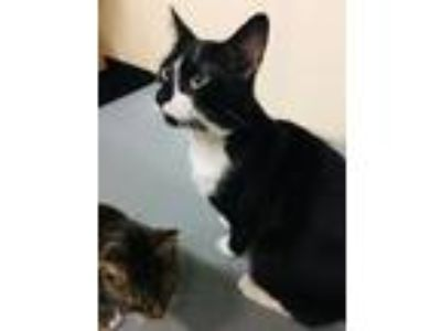 Adopt Ra-Kim a Domestic Short Hair
