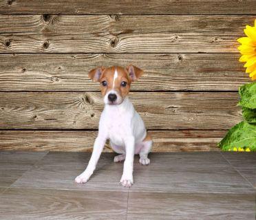 Rare Female Jack Russell Terrier