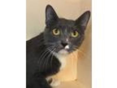 Adopt Peebles a Gray or Blue Domestic Shorthair / Domestic Shorthair / Mixed cat