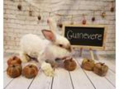 Adopt Guinevere a White Angora, English / Mixed (long coat) rabbit in Columbus