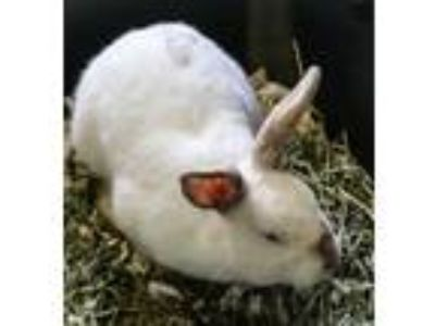 Adopt TOFU a White Other/Unknown / Mixed rabbit in Waterford, VA (25345628)