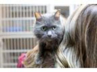 Adopt Trapper a Domestic Medium Hair