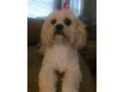 Adopt *Bella a Tan/Yellow/Fawn Lhasa Apso / Mixed dog in East Patchogue