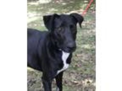 Adopt Wenona. TS. REDUCED $250 a Doberman Pinscher, Labrador Retriever