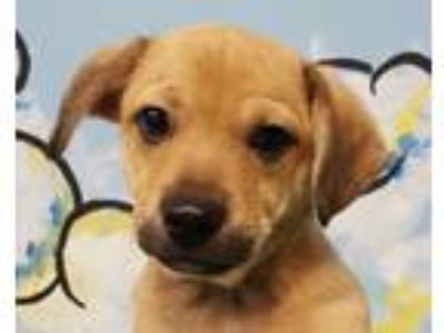 Adopt Chuck D. a Tan/Yellow/Fawn Beagle / Labrador Retriever / Mixed dog in