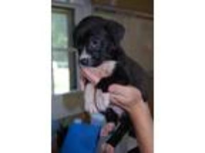 Adopt Bongo a Black - with White Mixed Breed (Medium) / Mixed dog in North