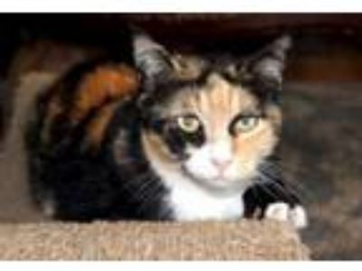 Adopt Toffee a Calico, Domestic Short Hair