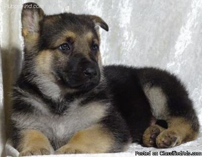 faithful German Shepherd Dog Puppies for Sale