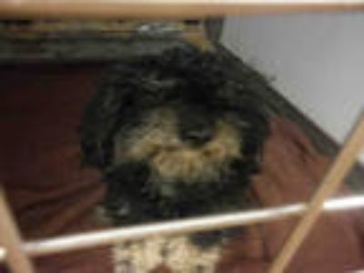 Adopt #TYSON a Black - with White Poodle (Miniature) / Mixed dog in San Jose