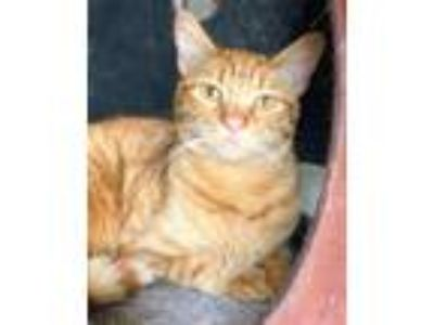 Adopt Preston a Domestic Short Hair
