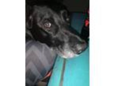 Adopt Diesel a Black - with White Labrador Retriever / Australian Shepherd /