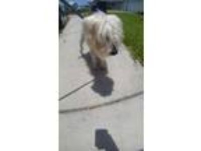 Adopt 42259623 a White Terrier (Unknown Type, Small) / Mixed dog in Land