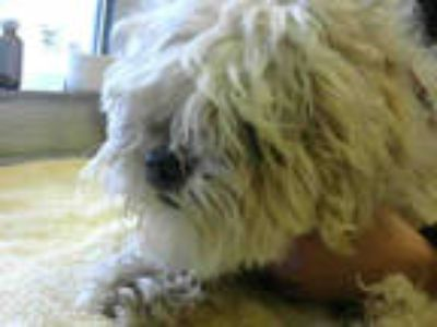 Adopt *BOB a Tan/Yellow/Fawn - with White Shih Tzu / Mixed dog in Sacramento
