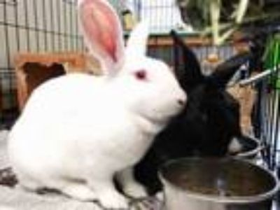 Adopt DAKOTA a Bunny Rabbit