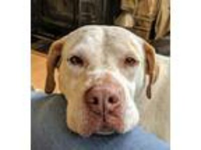 Adopt Butterscotch a White - with Brown or Chocolate English Pointer dog in East