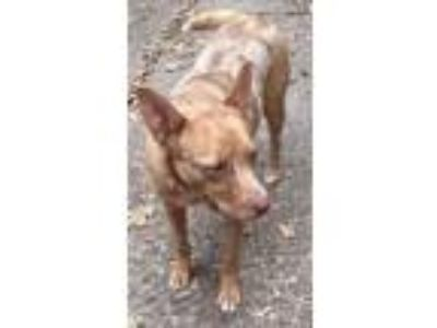 Adopt Dakota a Australian Cattle Dog / Blue Heeler