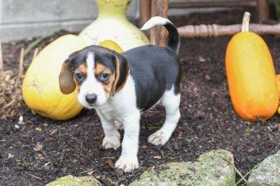 Tina Female Beagle