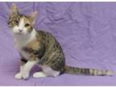 Adopt Candy Corn a Calico or Dilute Calico Domestic Shorthair (short coat) cat