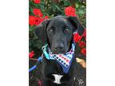 Adopt Stanley a Labrador Retriever, Australian Cattle Dog / Blue Heeler