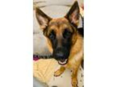 Adopt Mac a German Shepherd Dog