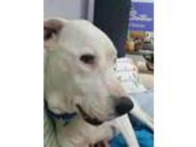 Adopt Jazz a White Labrador Retriever / Hound (Unknown Type) / Mixed dog in