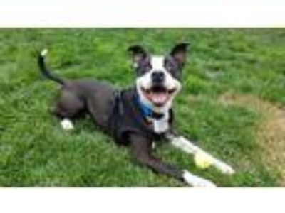 Adopt Checkers a White - with Black Canaan Dog / American Staffordshire Terrier