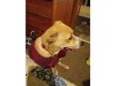 Adopt Ace a Tan/Yellow/Fawn Labrador Retriever dog in Abilene, TX (24859069)