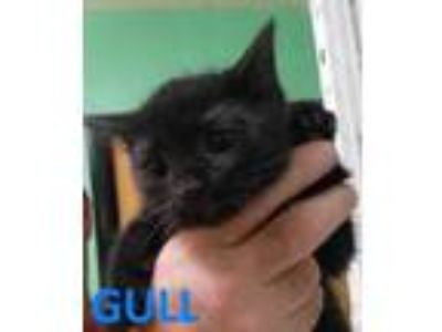 Adopt GULL a All Black Domestic Shorthair / Domestic Shorthair / Mixed cat in