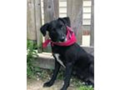 Adopt Rogue a Black Labrador Retriever / Mixed dog in Morton Grove