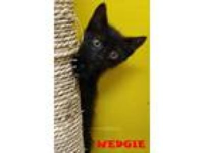 Adopt WEDGIE a Domestic Short Hair