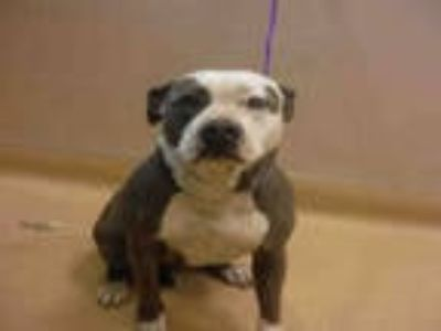 Adopt GUCCI a Gray/Silver/Salt & Pepper - with White American Pit Bull Terrier /