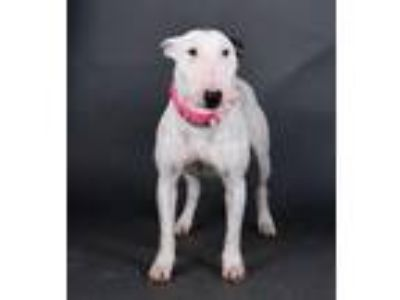 Adopt Wendy a Bull Terrier, Mixed Breed