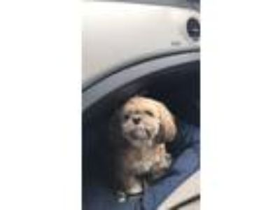Adopt CeCe a Brown/Chocolate - with Tan Shih Tzu / Mixed dog in Chicago