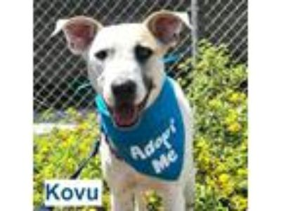 Adopt Kovu a White - with Black Labrador Retriever / Shepherd (Unknown Type) dog