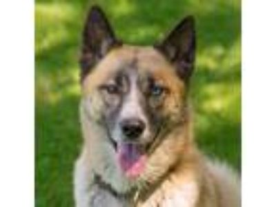 Adopt Elroy a Husky, Cattle Dog